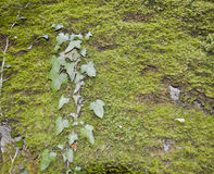 A branch of ivy Stock Images