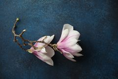 Branch of two magnolia flowers stock photos