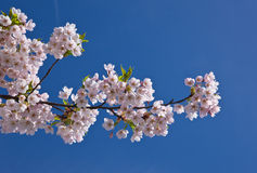 Branch of an japanese cherry Stock Image