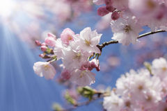 Branch of japanese cherry against blue sunny sky Stock Photos