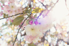 Branch of Japanese cherry in bloom Royalty Free Stock Photos