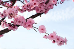 Branch of japanese cherry blossom Royalty Free Stock Images
