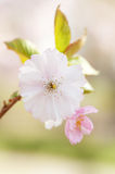 Branch of Japanese cherry with blossom Royalty Free Stock Image