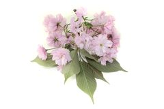 Branch of japanese cherry blossom Royalty Free Stock Image