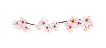 Branch of Japanese cherry with blossom Royalty Free Stock Photos