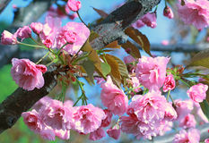 Branch of Japanese cherry blossoms Stock Photo
