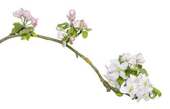 Branch of Japanese cherry, Prunus serrulata, blossoming, isolated Stock Images