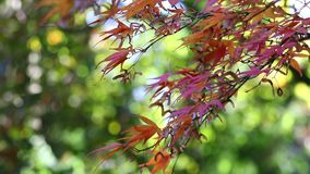 Branch of japanese maple in the breeze stock video