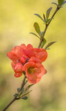 Branch of Japanese quince in blossom Royalty Free Stock Image