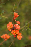 Branch of Japanese quince in blossom Stock Photography