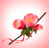 Japanese quince. Branch of japanese quince blossom at springtime Stock Photo