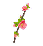 Branch of Japanese Quince (Chaenomeles japonica) in bloom Royalty Free Stock Photography