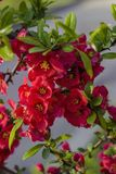 On a branch of Japanese quince, flowers blossomed. Branch with flowers of Japanese quince Royalty Free Stock Photography