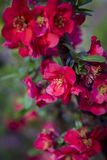 On a branch of Japanese quince, flowers blossomed. On a branch of Japanese quince flowers raspusitilis Royalty Free Stock Photo
