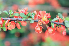 Branch of Japanese quince. On a green background Royalty Free Stock Photos