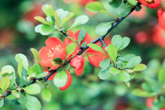 Branch of Japanese quince with orange flowers. On a green background Royalty Free Stock Images