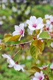 Branch of japanese sakura blossoms Stock Photos