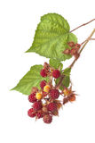 Branch of Japanese Wineberry Royalty Free Stock Photography