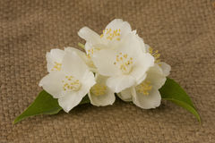 Branch of jasmin. On burlap background royalty free stock image