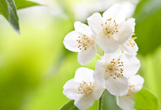 Branch of jasmin Stock Image