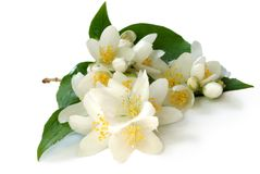 Branch of jasmin Stock Images