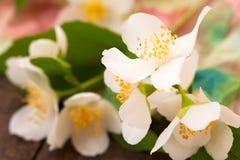 Branch of jasmine Stock Image