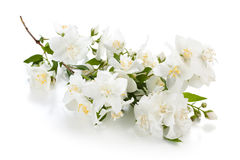 Branch of jasmine. Stock Photo