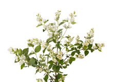 Branch of jasmine with flowers. Beautiful branch of jasmine with many flowers isolated on white Royalty Free Stock Photography