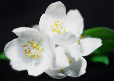 A branch of jasmine with  flowers Stock Images