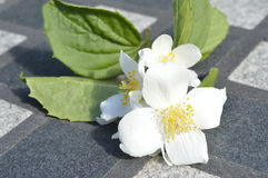 Branch of jasmine flowers. On stone table, on chessboard; white flowers, white flowering shrub, Jasminum, Jasmin Stock Photo
