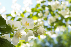 A branch of jasmine on a natural blurred background Stock Images