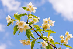 Branch of jasmine  on the sky background. Stock Images