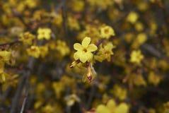 Yellow flowers close up of Jasminum nudiflorum stock photography