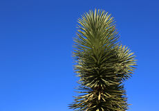 Branch of Joshua Tree Royalty Free Stock Images