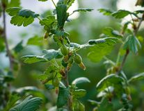 Branch of jostaberry with green berries in spring on blurred background stock photos