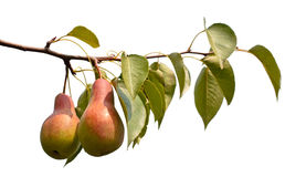 Branch with juicy pears Royalty Free Stock Photography
