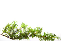 Branch of juniper Royalty Free Stock Photos