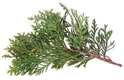 Branch of juniper. Stock Photos