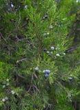 Branch of juniper with berries Stock Photos
