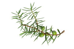 Branch of juniper with berries Stock Photo