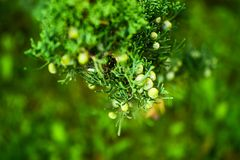 Branch of juniper with fruit royalty free stock photos