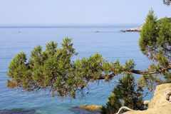 Branch of juniper hanging over the sea. Stock Images