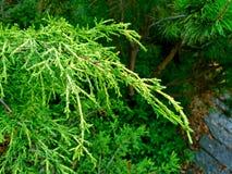 Juniper branch. Branch of Juniper in a shady garden Stock Photography