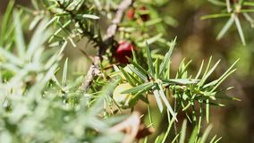 Juniper tree with  berries. Branch of  juniper tree with green leaves and black and red cones ,it's a sunny and windy day stock footage