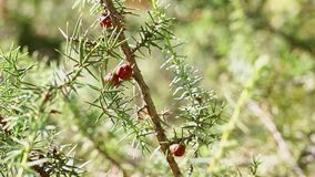Branch of juniper. Branch of  juniper tree with green leaves and red cones ,it's a sunny and windy day stock video footage