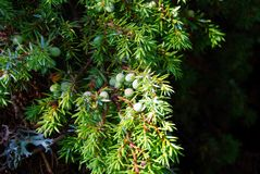 A branch of juniper tree. Group of juniper berries still green on the tree illuminated from the natural light royalty free stock photography