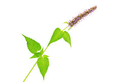 Branch of the Korean mint  (Agastache rugosa) Royalty Free Stock Images