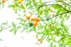 Branch of a Kumquat tree. With mature fruits Stock Photography