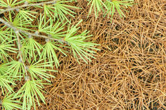 Branch of a larch on a background of dry needles Royalty Free Stock Photography