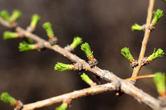 Branch of larch with blooming buds Stock Images
